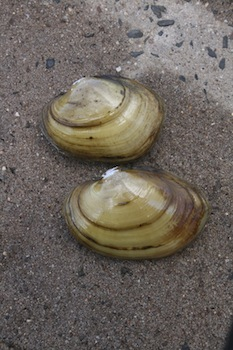 Yellow Lampmussels